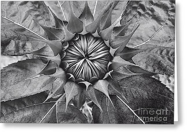 Sunflower's Shades Of Grey Greeting Card