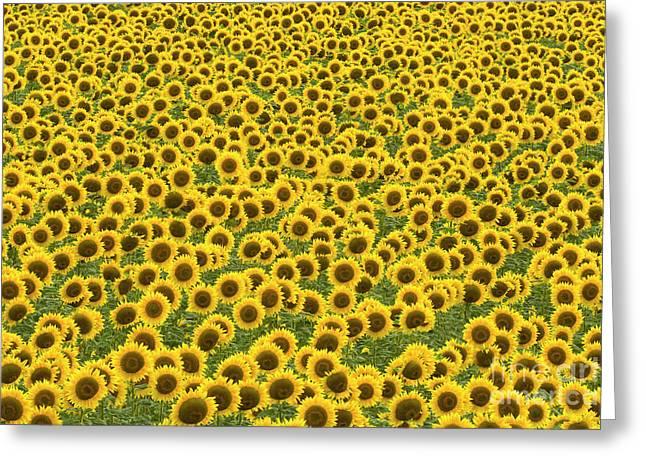 Sunflowers Kansas Greeting Card