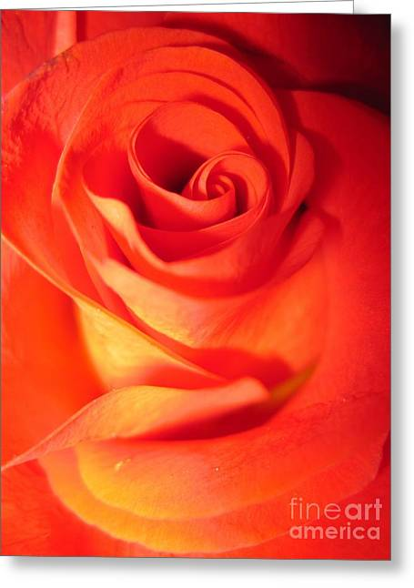 Sunkissed Orange Rose 10 Greeting Card