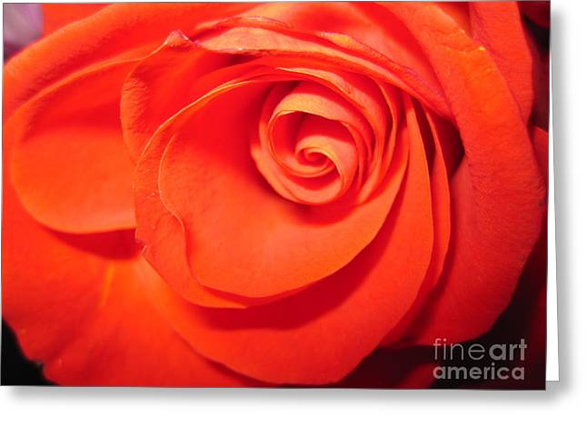 Sunkissed Orange Rose 9 Greeting Card