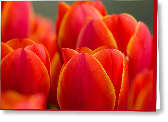 Sunkissed Tulips Greeting Card by Jordan Blackstone