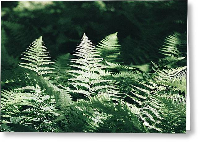 Greeting Card featuring the photograph Sunlight And Shadows-algonquin Ferns by David Porteus