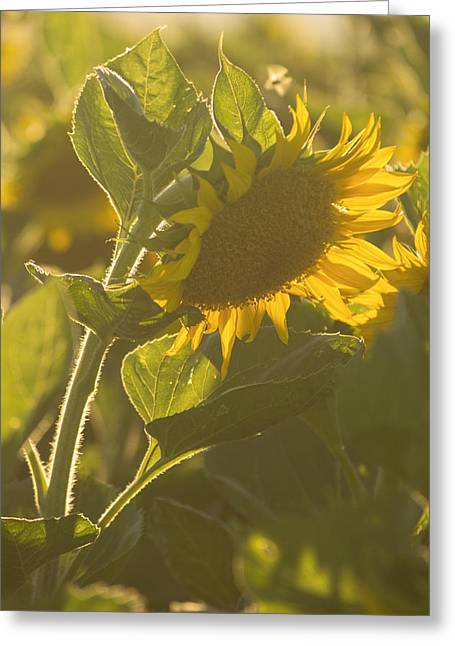 Sunlight And Sunflower Greeting Card