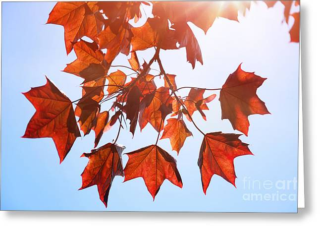 Sunlight On Red Leaves Greeting Card by Natalie Kinnear