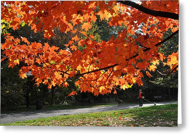 Sunlight On Red Maple Leaves Greeting Card by Diane Lent