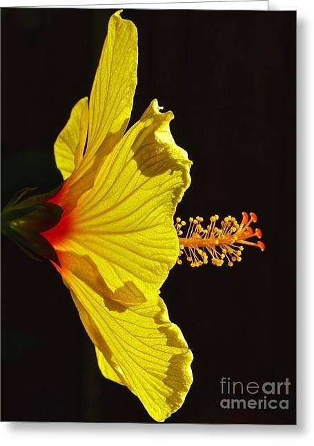 Sunlit Hibiscus Greeting Card