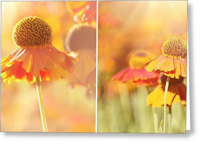 Sunlit Orange Helenium Flowers Triptych Greeting Card