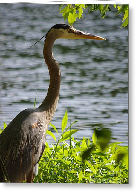 Sunning Blue Heron Greeting Card by Tannis  Baldwin
