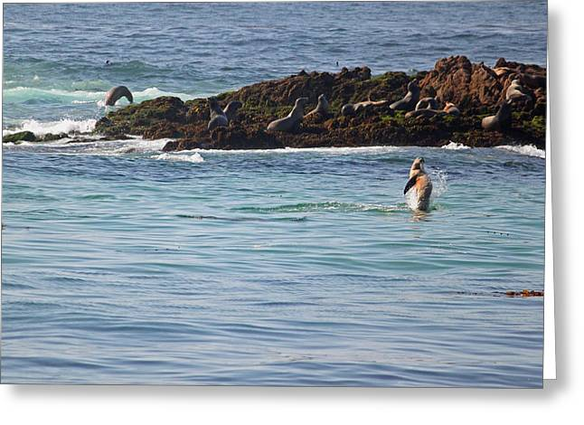 Sunning Sea Lions Greeting Card