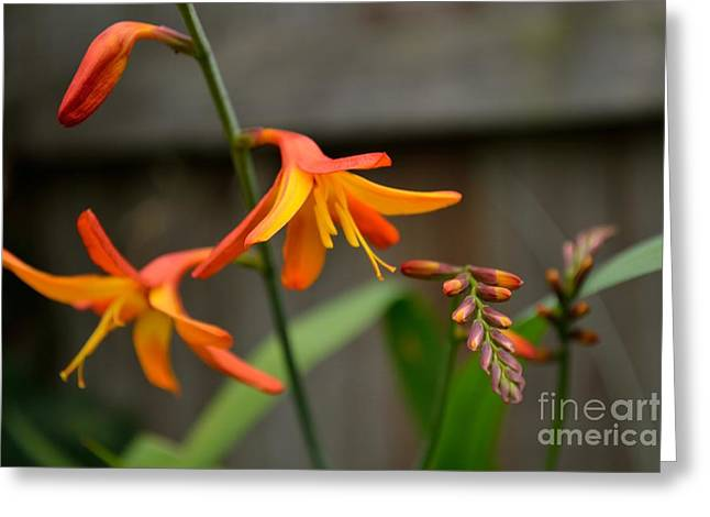 Sunny Crocosmia Greeting Card by Scott Lyons