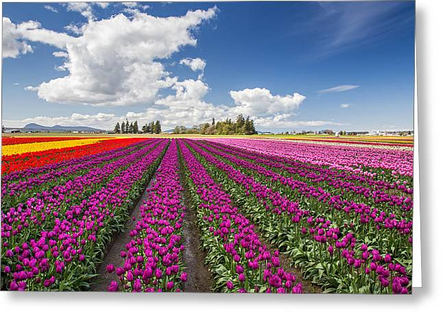 Sunny Day In The Tulip Field Greeting Card by Pierre Leclerc Photography