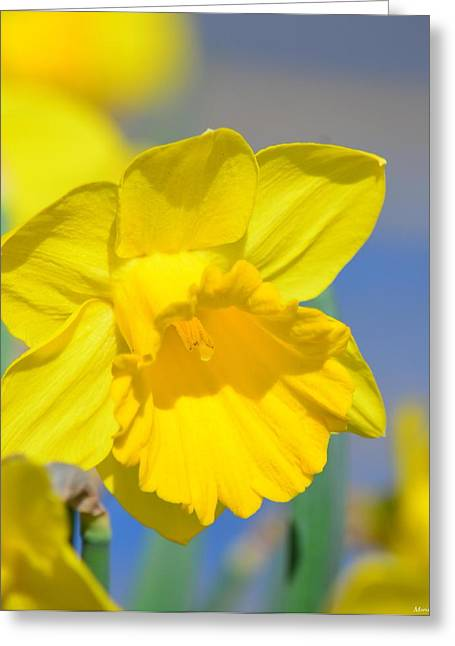 Sunny Days Of The Daffodil Greeting Card by Maria Urso