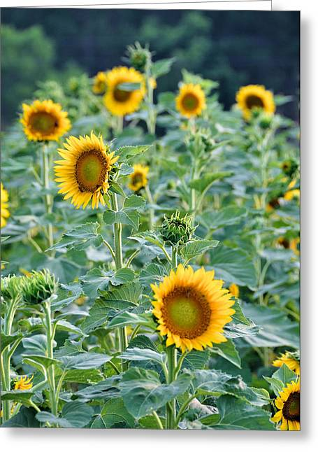 Sunny Faces Greeting Card by Jan Amiss Photography
