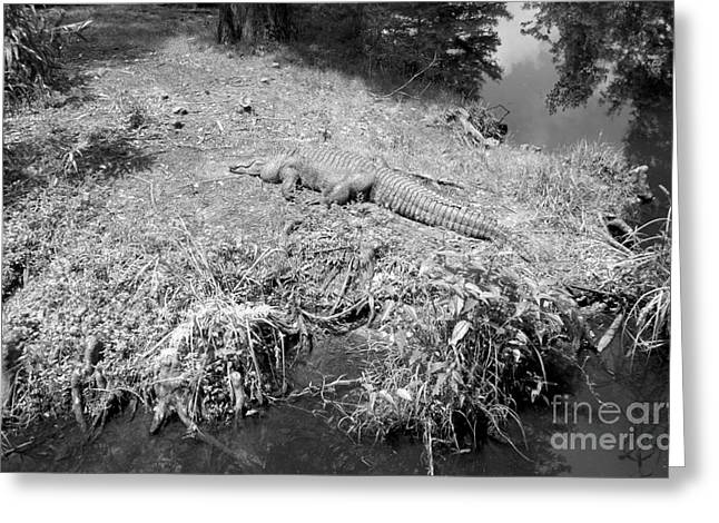 Greeting Card featuring the photograph Sunny Gator Black And White by Joseph Baril