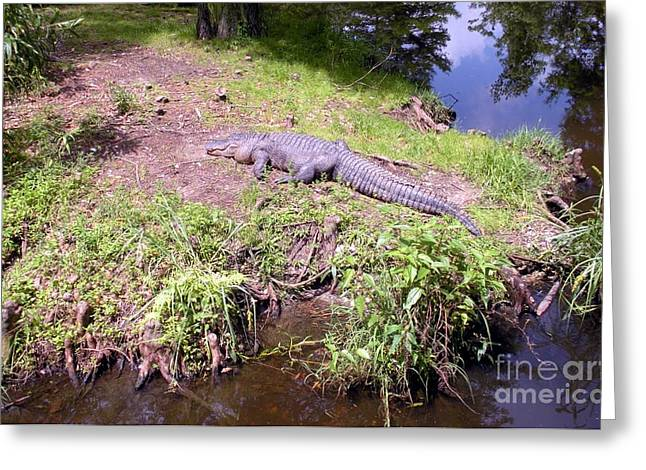 Greeting Card featuring the photograph Sunny Gator  by Joseph Baril