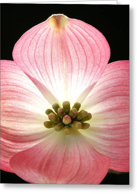 Sunny Pink Dogwood Greeting Card