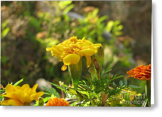Sunny Marigold Greeting Card by Leone Lund