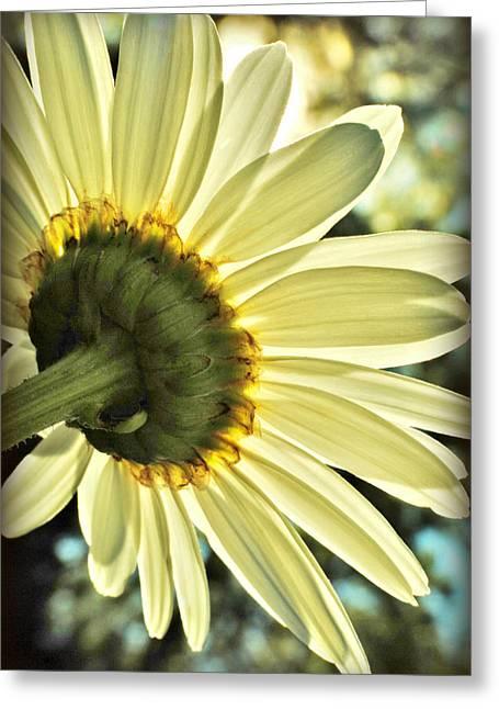 Sunny Shasta Daisy Greeting Card by Kelly Nowak