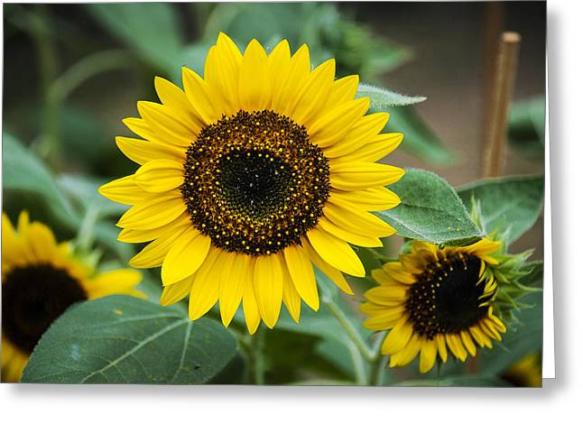 Greeting Card featuring the photograph Sunny Smile Sunflower by Phil Abrams