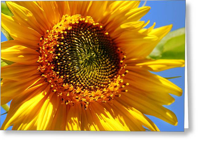 Sunny Sunflower Square Greeting Card by Christina Rollo