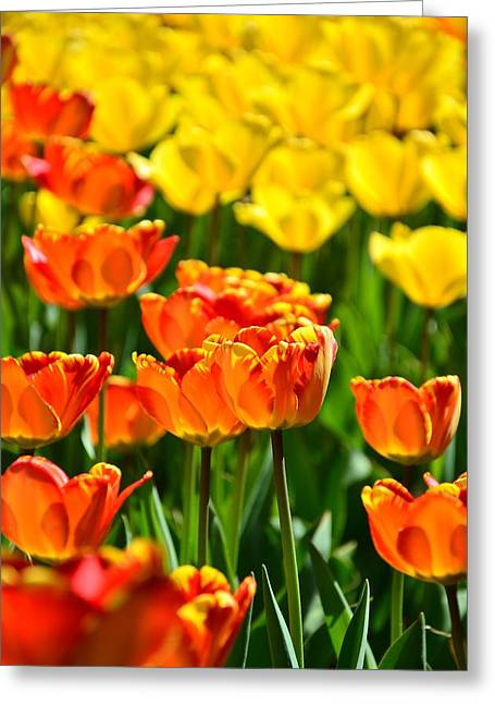 Sunny Tulips Greeting Card by Gynt