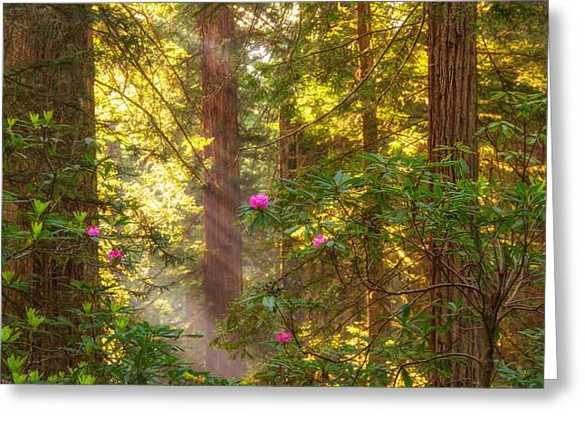 Sunrays Over Redwoods Greeting Card