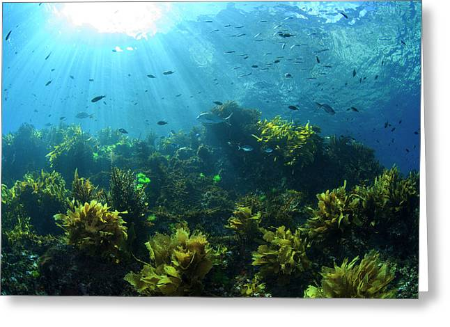 Sunrays Shine On Fish And Kelp Greeting Card by James White