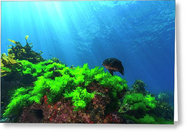 Sunrays Shine On Kelp And A Damselfish Greeting Card