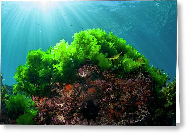 Sunrays Shine On Kelp Through Clear Greeting Card by James White