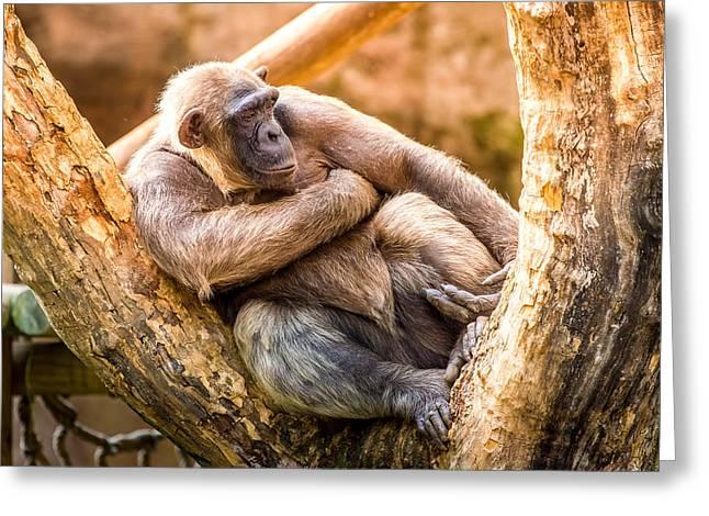 Sunset Chimpanzee Greeting Card by Pati Photography