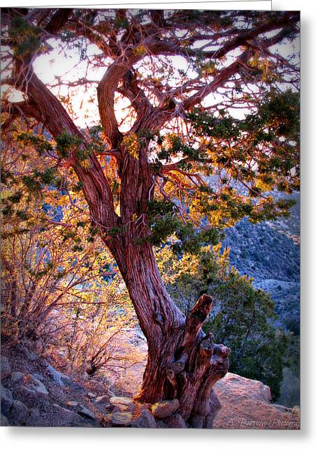 Sunset Colors Of A Juniper Tree Greeting Card