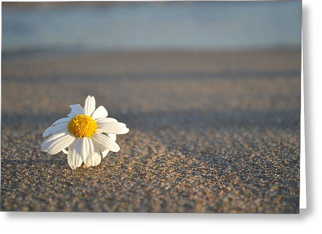 Sunset Daisy Greeting Card by Galexa Ch