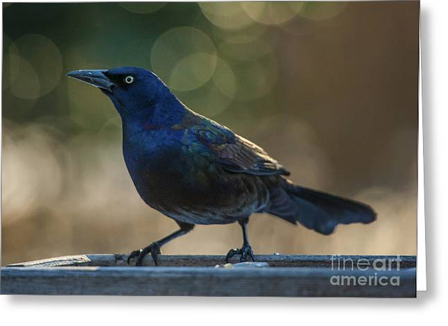 Sunset Grackle Greeting Card