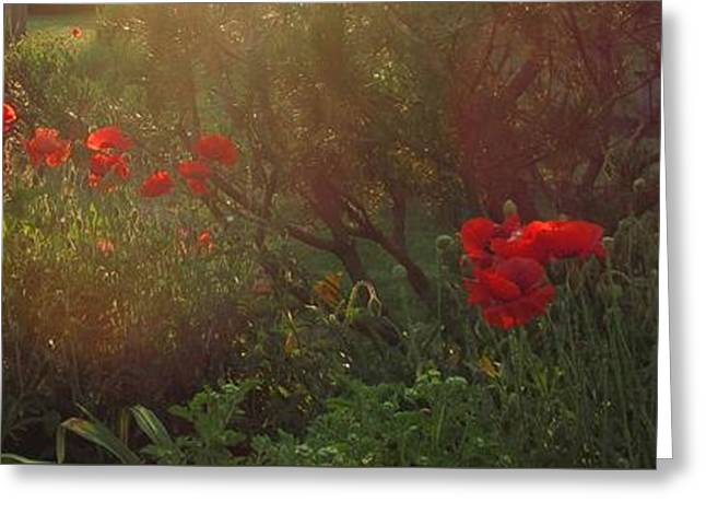 Sunset In The Poppy Garden Greeting Card by Mary Wolf