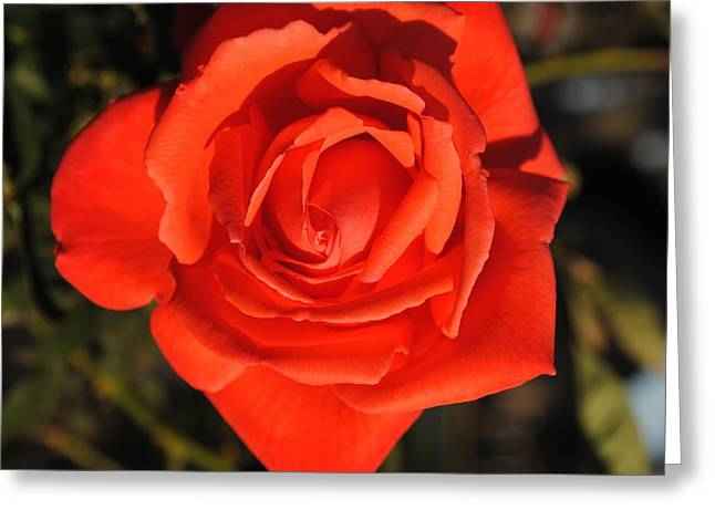 Sunset Rose Greeting Card by Robert  Moss