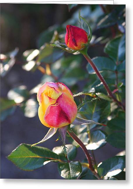 Sunset Roses Greeting Card by Paula Tohline Calhoun