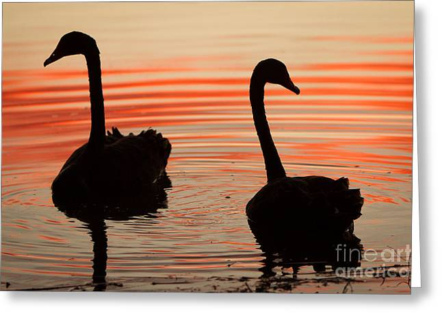 Sunset Swans Greeting Card