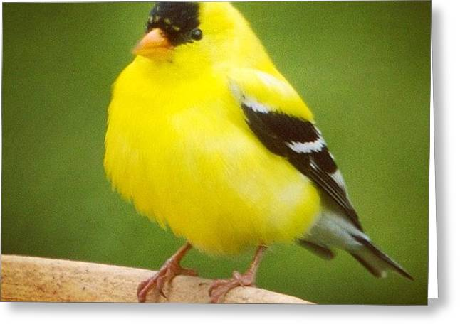Super Fluffed Up Goldfinch Greeting Card