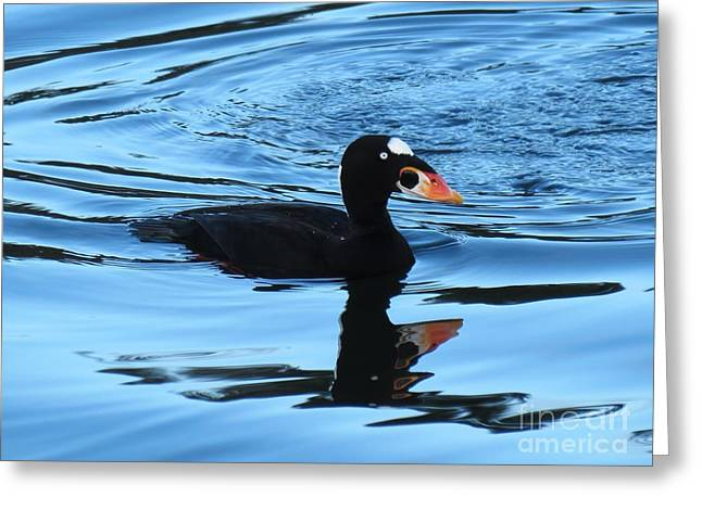 Surf Scoter Blues Greeting Card by Gayle Swigart