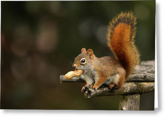 Surprised Red Squirrel With Nut Portrait Greeting Card