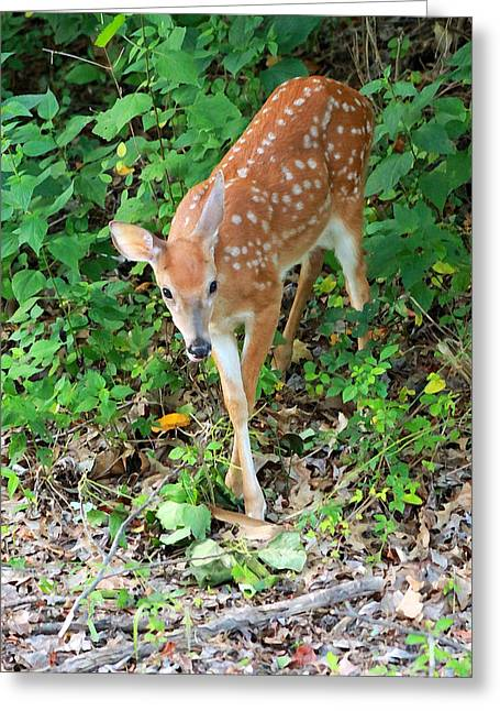 Surprised Fawn Greeting Card by Lorna Rogers Photography