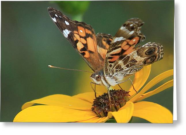 Susan Painted Lady Greeting Card by Reid Callaway