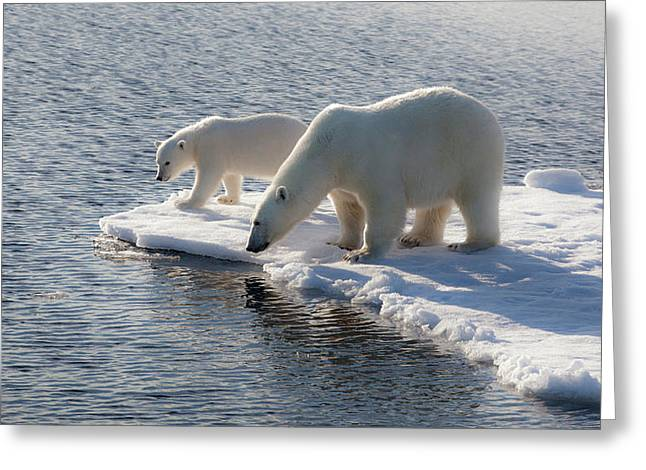 Svalbard Mother And Child Polar Bears Greeting Card by Janet Muir
