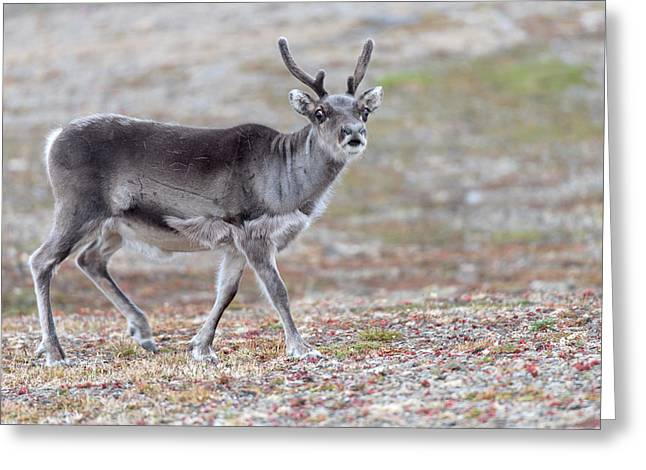 Svalbard Reindeer Greeting Card by Dr P. Marazzi