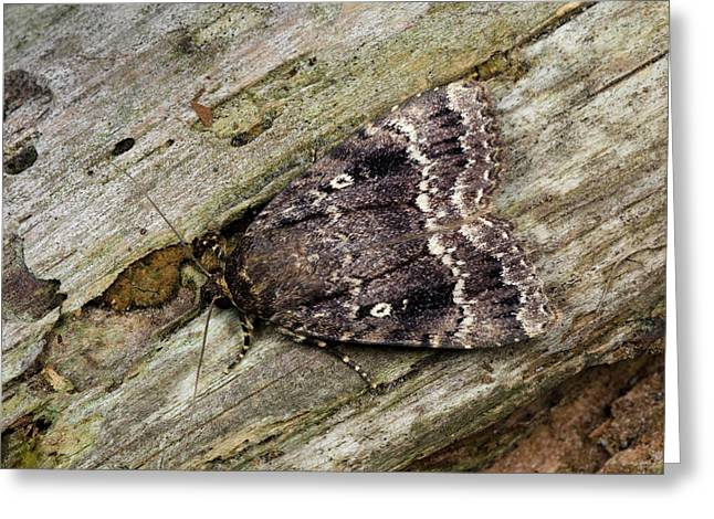 Svensson's Copper Underwing Moth Greeting Card