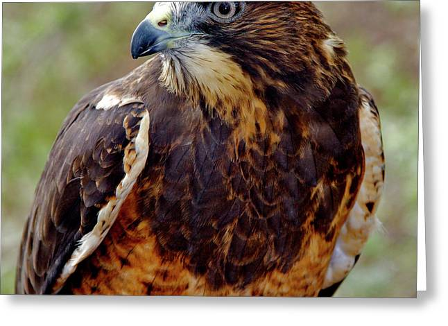 Swainson's Hawk Greeting Card