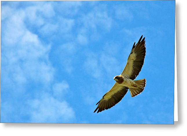Swainson's Hawk Snake River Birds Of Prey Natural Conservation Area Greeting Card by Ed  Riche