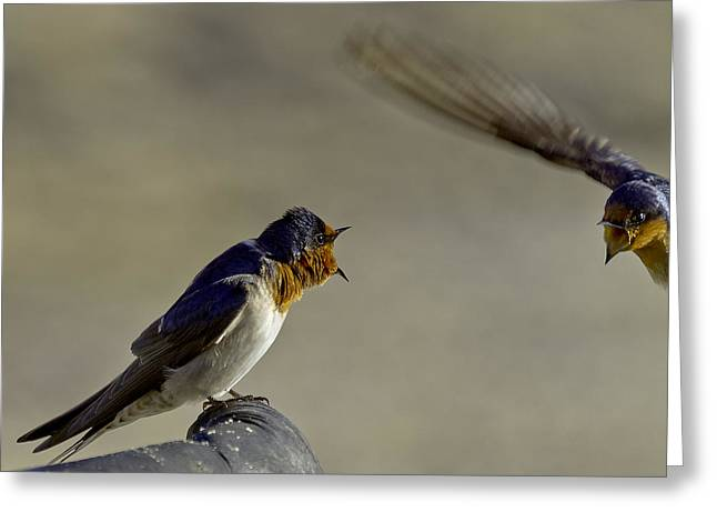 Swallow Fight Greeting Card by Mr Bennett Kent