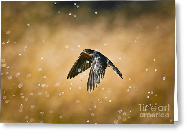 Swallow In Rain Greeting Card by Robert Frederick