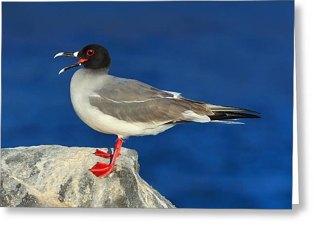 Swallow-tailed Gull Greeting Card by Tony Beck